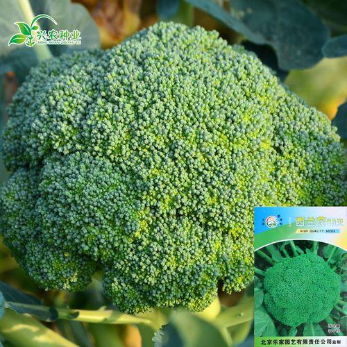 西兰花种子 四季春季紫花菜种子白花菜种子盆栽蔬菜