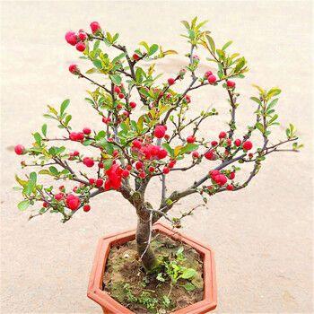 四季开花易活室内外庭院花卉植物长寿冠老桩重瓣海棠花盆景耐寒花卉 5