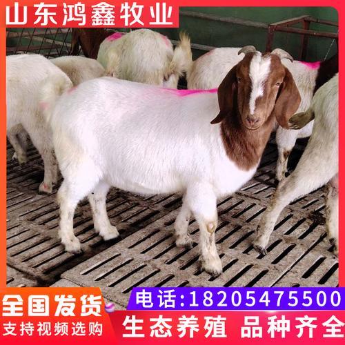 波尔山羊活羊养殖怀孕母羊成年种公羊波尔山羊纯种小羊种羊活体