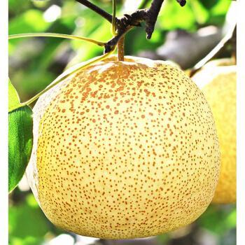 砀山梨 新鲜当季整箱安徽特产砀山梨 酥梨应季水果雪梨 3斤 精选特大