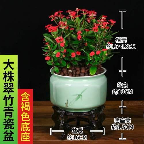 虎刺梅铁海棠盆栽阳台客厅花盆景海棠花四季开花绿植花卉带花植物