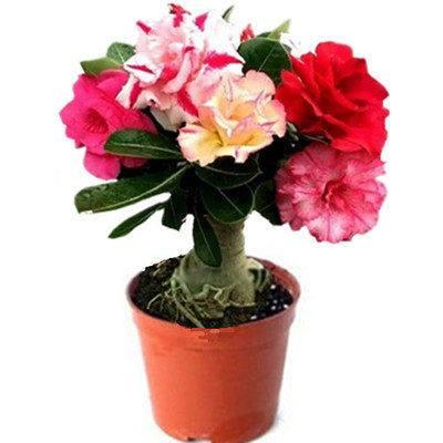 沙漠玫瑰植物盆栽花苗带花苞四季开花重瓣沙漠玫瑰老桩盆景花卉s