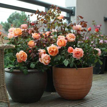 【虹越】 进口大花浓香月季10l盆栽苗 艾玛汉密尔顿夫人 奥斯汀灌木