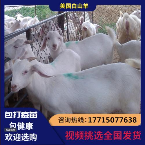 美国白山羊种羊活苗活体小羊羔活羊纯种成年怀孕母羊