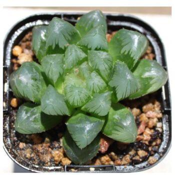 多肉植物十二卷类红岩琥珀冰灯万象姬玉露寿多肉盆栽万象不含花盆 虹