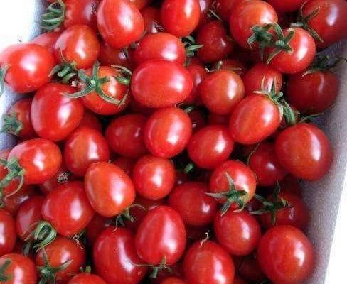 85/棵 圣女果苗  釜山88小西红柿口感无渣糖度高正品保证