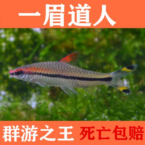 一眉道人红眉道人观赏鱼热带鱼草缸之王红绿灯鱼宠物