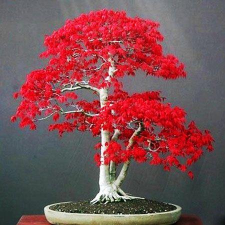 *四季易活美国红枫种子红叶枫树籽室内盆栽庭院观叶盆景植物花卉