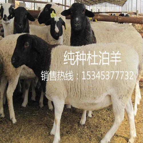 活羊纯种杜泊绵羊小尾寒羊种公羊成年母羊波尔山羊小