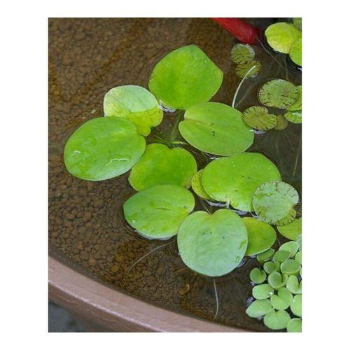 【】虾缸浮萍水草造景水族箱活体长须圆形浮萍圆心浮草净水植物 圆形