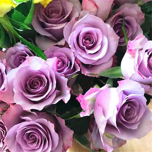 海洋之歌 玫瑰花苗茶香水味 切花月季 灌木蓝紫色 室内外阳台盆
