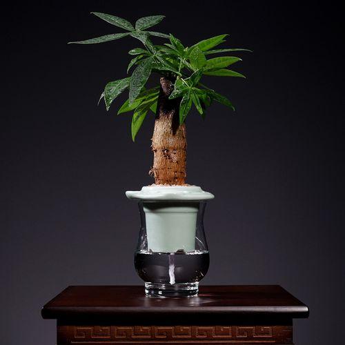 发财树绿植盆栽水培富贵竹植物水养室内文竹盆景花卉