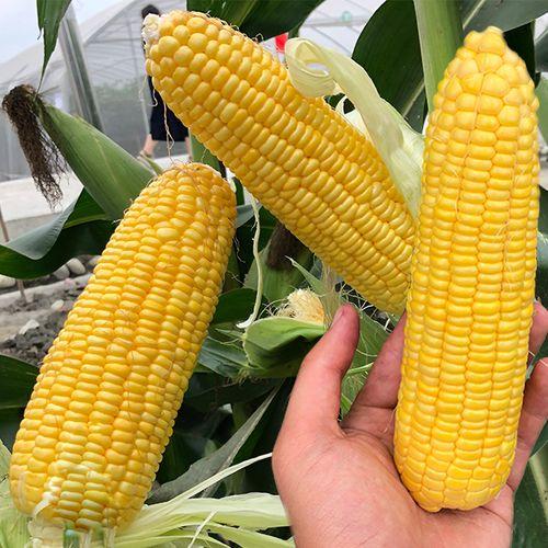 长耕黄糯玉米种子高产粮食玉米种孑水果玉米种籽秋季