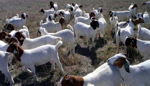 波尔山羊纯种小羊母羊活羊种羊公羊羔养殖技术怀孕