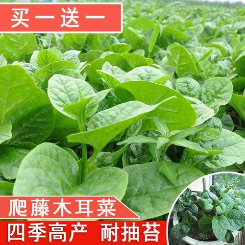 大叶木耳菜种子爬藤小青菜阳台盆栽田园易种蔬菜种籽