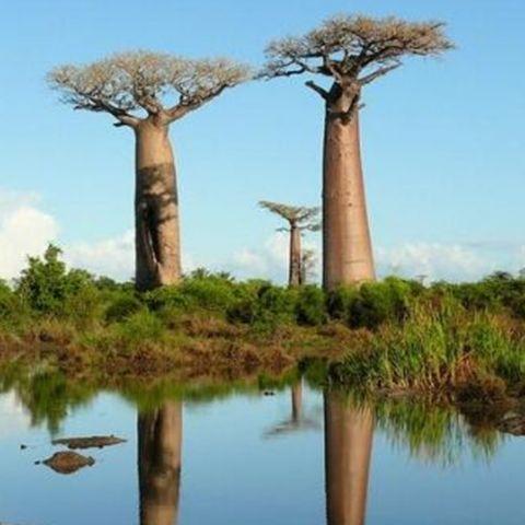 非洲面包树种子 猴面包树种子包邮
