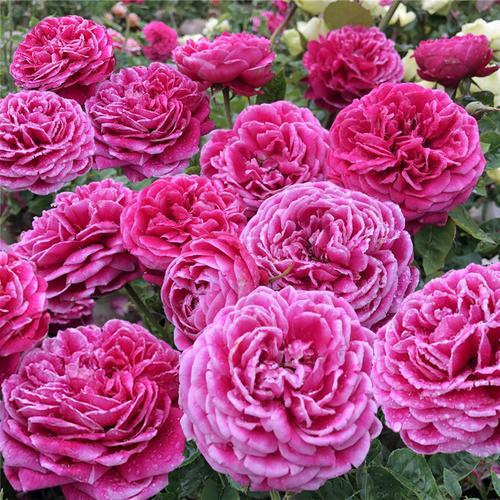 日月季切花月季花玛丽玫瑰月季花 花瓣好看 阳台 绿植