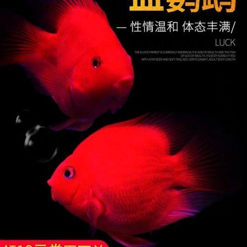 血鹦鹉活鱼发财鱼地图鱼猪仔鱼热带观赏淡水活体招财