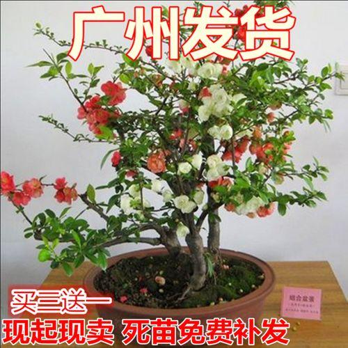 重瓣日本海棠苗办公室内外盆栽海棠花苗盆景花卉植物