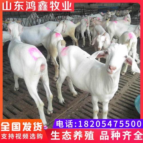 纯种美国白山羊成年种羊公羊活羊白山羊活体怀孕母羊