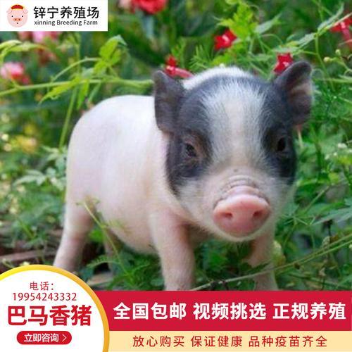 巴马香猪活苗活物家养香猪苗广西纯种巴马香猪幼崽种猪送养殖资料
