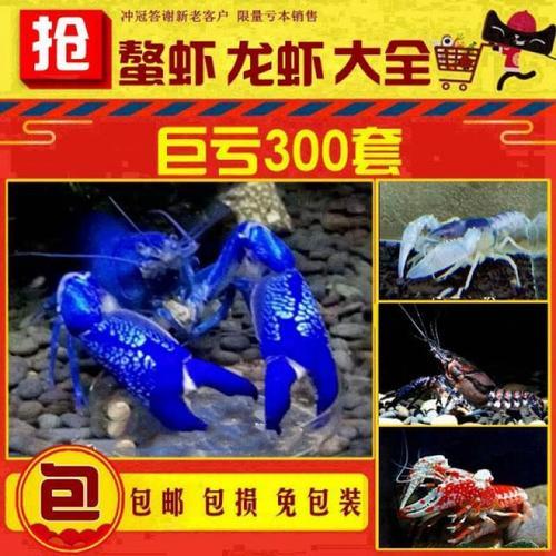 蓝色鳌虾观赏鳌虾活体宠物天空蓝魔虾淡水冷水蓝色小