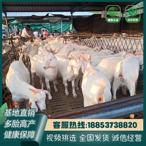 美国白山羊活羊羊羔家养成年大白羊种公羊孕羊活体白
