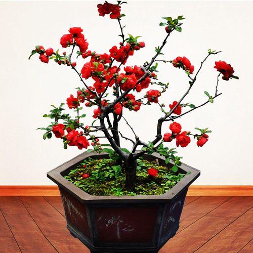 海棠花苗常青树苗盆景阳台花卉室内庭院盆栽植物四季