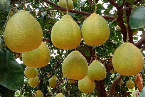 0/箱  正宗容县沙田柚子箱装广西沙地柚子水果新鲜金柚甜非梅州柚
