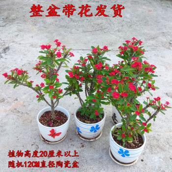 老桩小叶虎刺梅稀有品种四季开花盆栽麒麟花黄色铁海棠耐旱花卉粉
